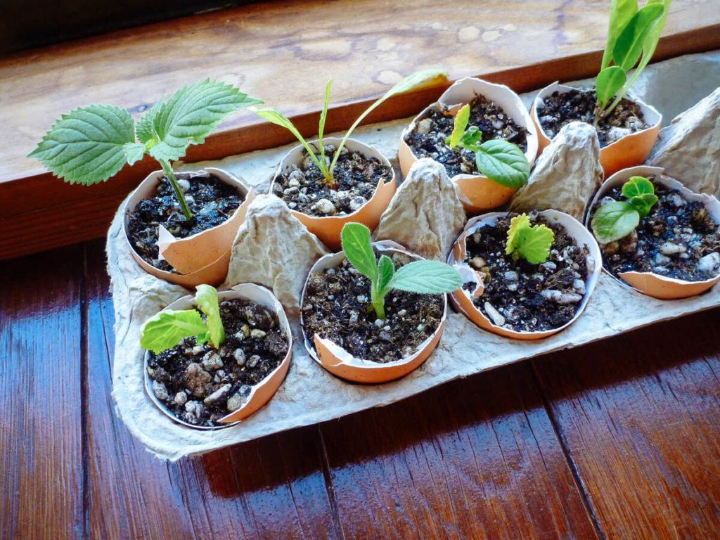 eggshell seed starting